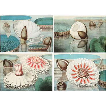 Galley Walls 13_Four Botanical Prints by John Fisk Allen and William Sharp